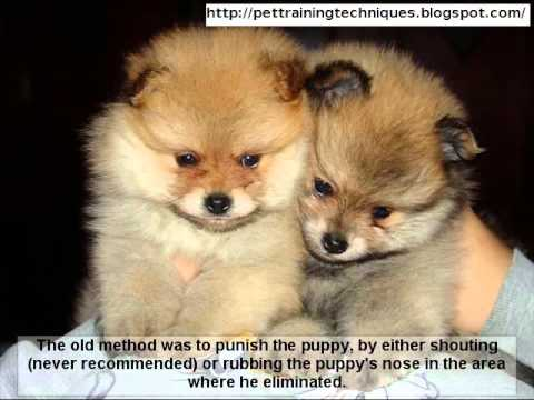 How To House Train Your Pomeranian Puppy