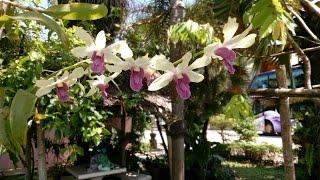 орхидеи на улицах Таиланда + бонус в конце: прирученная птица-носорог