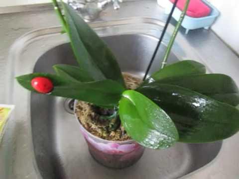 Эпин для орхидей применение