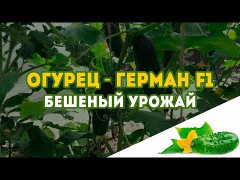 Огурец в теплице Герман F1! Такого урожая огурцов у нас еще не было, соседям раздавали!