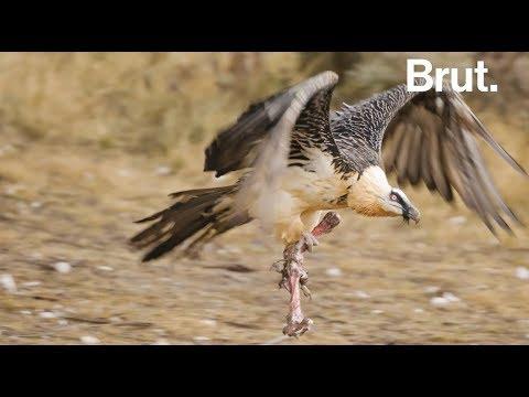 Le Gypaete Barbu Le Seul Oiseau Au Monde A Se Nourrir Principalement D Os Youtube