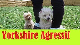 Yorkshire Terrier fait vivre à sa propriétaire un calvaire !