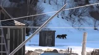 Badass Russian woman scares bears away
