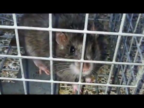 ANGRY RAT HISSING AND SQUEALING.
