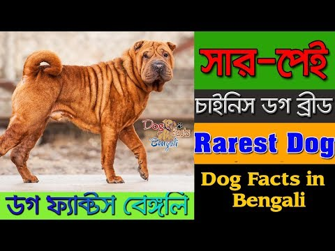Chinese Shar Pei Dog facts in Bengali | Rare Dog Breed | Dog Facts Bengali