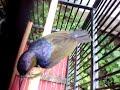 Kolibri Kelapa Gacor Ngobra  Mp3 - Mp4 Download