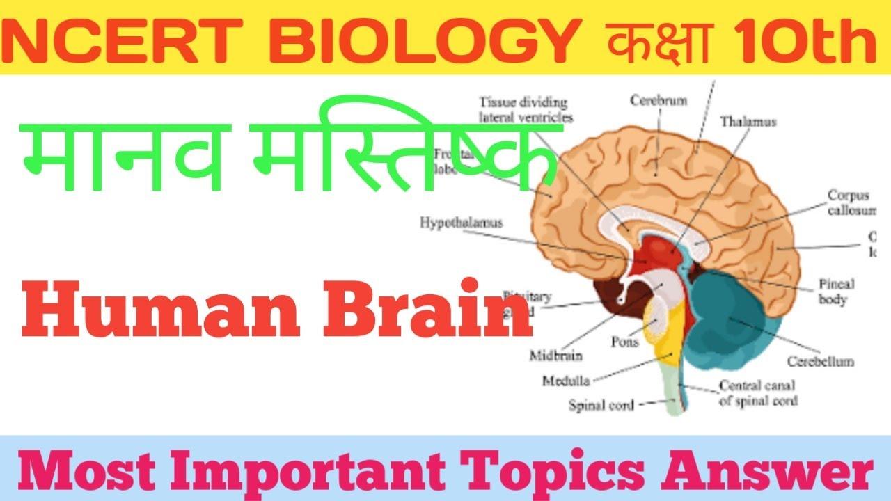 Ncert biology मानव मस्तिष्क Human Brain and its parts ...
