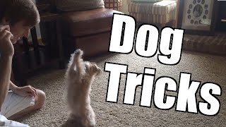 Yorkie Poo Dog Tricks: Sit Pretty, Play Dead, Roll Over, Lie Down, Speak, Etc.