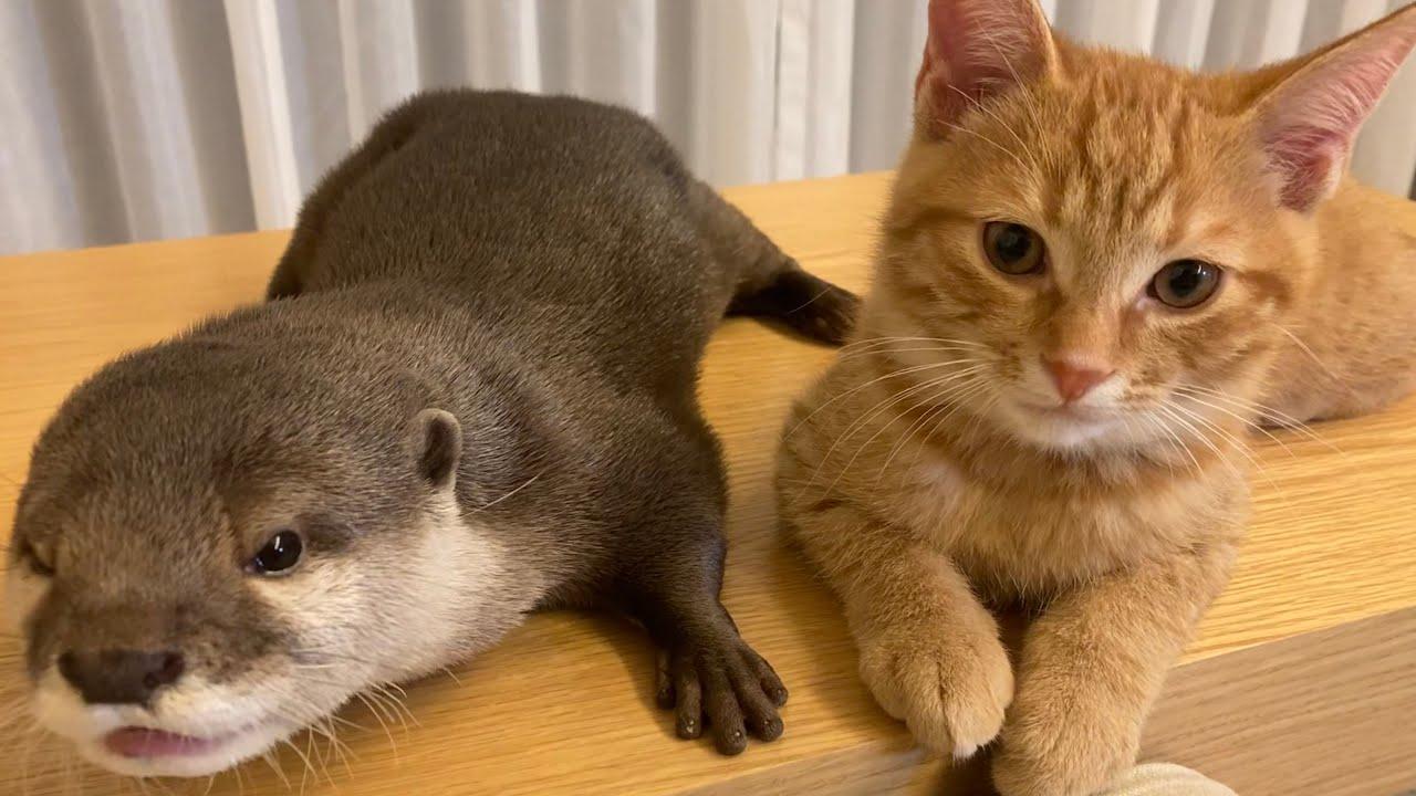 カワウソさくら 猫が好きすぎるカワウソ、カワウソ が好きすぎる猫 Otter who like cat too much, cat who like otter too much