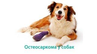 Остеосаркома у собак. Ветеринарная клиника Био-Вет.