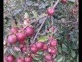 No spray apple yields 90lbs, many varieties on single trees