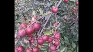 no spray apple yields 90lbs many varieties on single trees