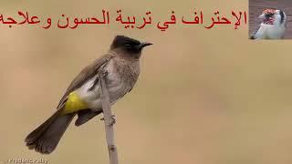 بلبل عراقي خرافي اسمع الصوت واحكم تغريد نار 123