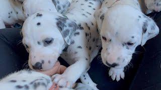 Dalmatian puppies day 24