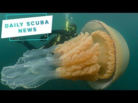 Daily Scuba News - Big Oi' Jellyfish