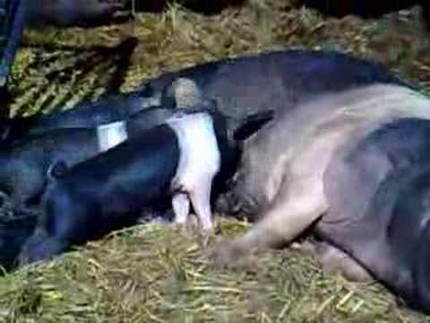 Pig Piglets Hampshire Hog fe..