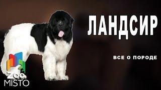 Ландсир - Все о породе собаки | Собака породы ландсир