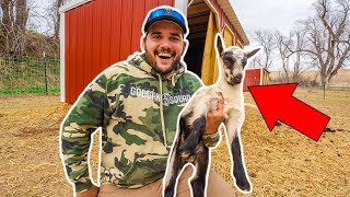 Surprise BABY Goat was BORN in the BACKYARD FARM!!! (Unexpected)
