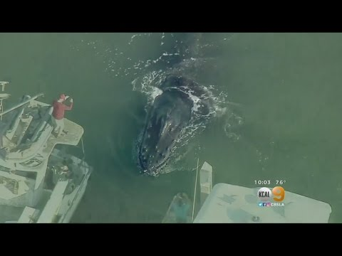Humpback Whale Gets Trapped In Ventura Harbor
