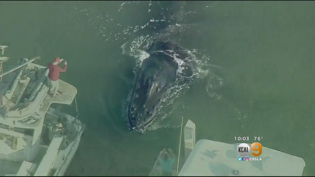 30-Foot-Long Humpback Whale Stuck in Ventura Harbor