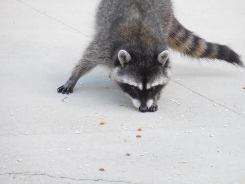 raccoon-video-stealing-porch-coon-raccoons-eat-cat-dog-food-4-wildlife