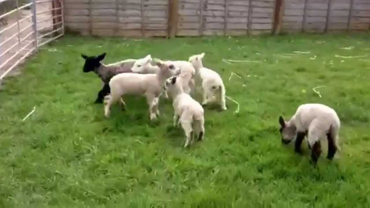 Gamboling lambs for your amusement - YouTube for Happy Sheep Gif  575cpg