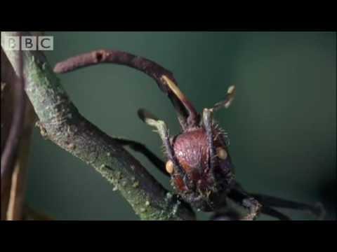 Cordyceps  attack of the killer fungi   Planet Earth Attenborough BBC wildlife