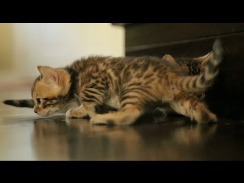 Bengal Kittens Can't Walk On Wood Floor