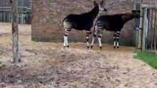 Scott & Amanda of the Okapi Species