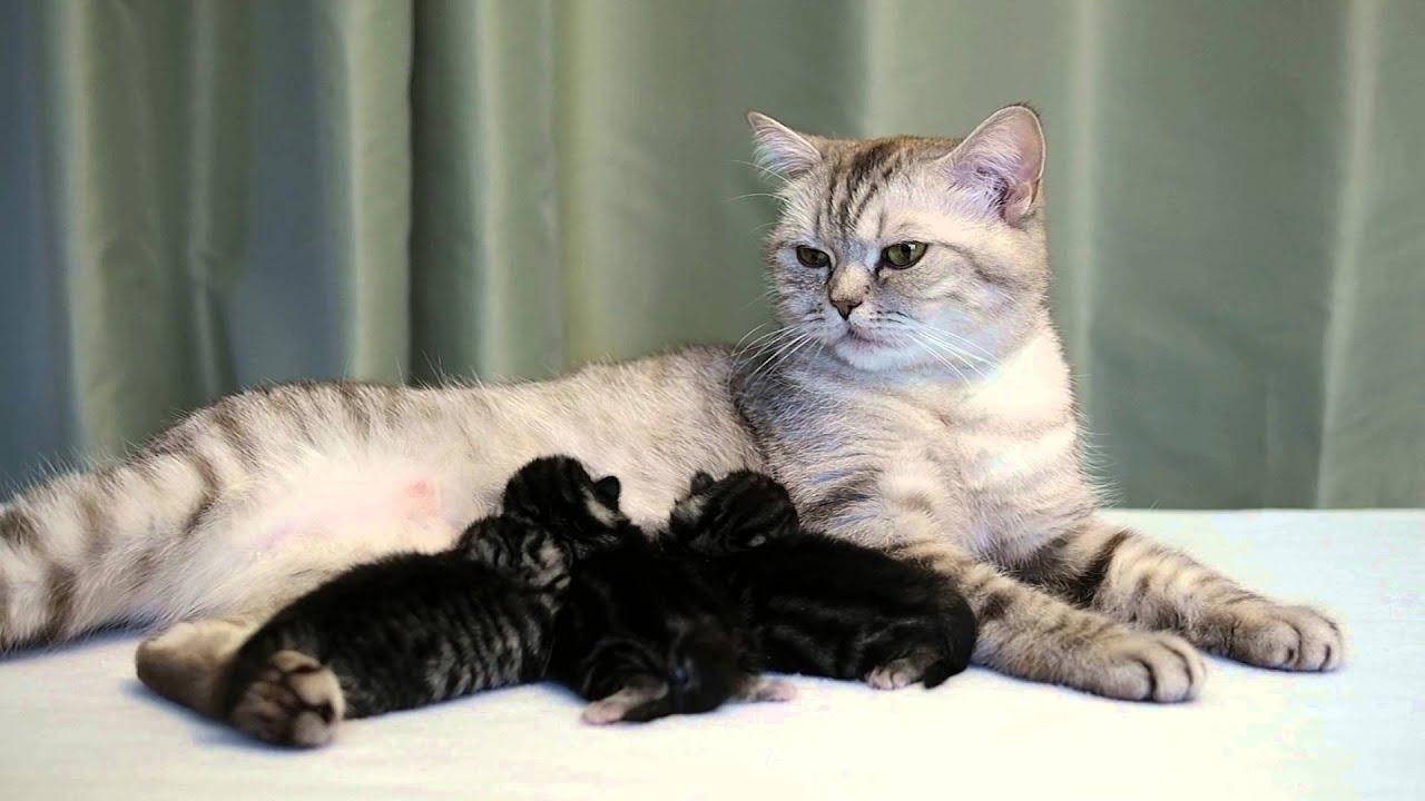 Воспоминания 2003. Британские плюшевые котята из питомника Silvery .