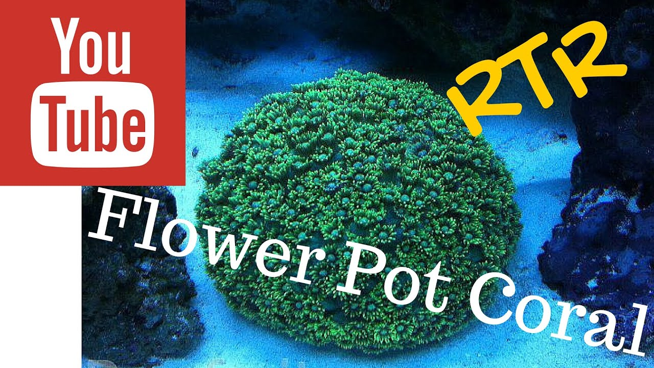 Flower pot coral care goniopora youtube flower pot coral care goniopora mightylinksfo