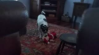 Tuppence the tiny Tenterfield Terrier attacks Santa the Puppy Dog !