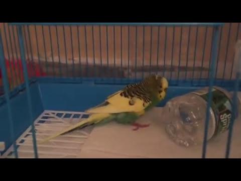 Умирает волнистый попугай - почему?