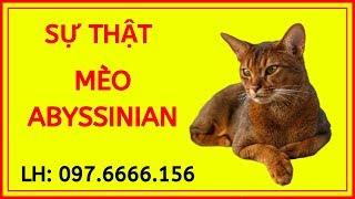 Giống mèo Ai Cập Abyssinian, Giá Bao Nhiêu Rẻ, Mua Ở Đâu TPHCM, Hà Nội