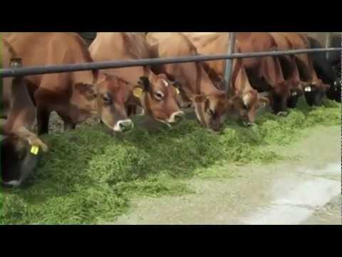 Hall Jersey's dairy farm in Utah
