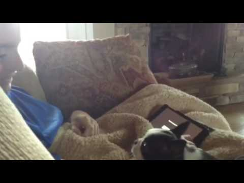Adorable Boston Terrier Episode 3!! She tries to talk to me!!