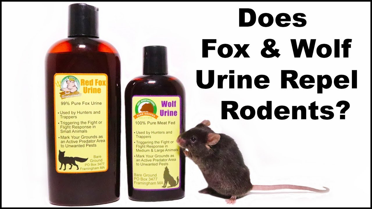 does-fox-wolf-urine-repel-rodents-mousetrap-monday
