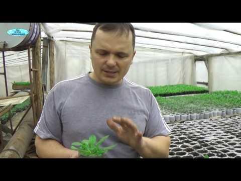 СРОЧНО ПРИЩИПНИТЕ СВОЮ ПЕТУНИЮ ДЛЯ ПЫШНОСТИ ТАКИМ СПОСОБОМ!!! | прищипывание | выращивание | прищипнуть | озеленение | вырастить | кустовая | петуния | петунию | петунии | клумба