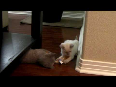 British Shorthair Kitten and Lilac Point Siamese Kitten Playing