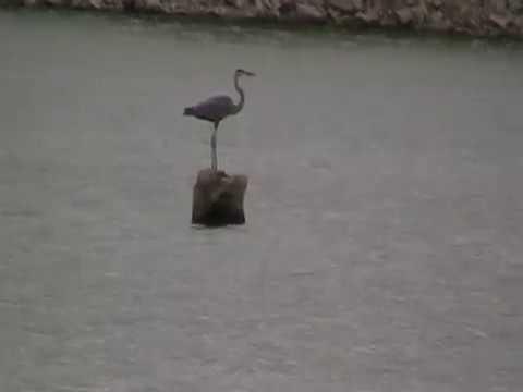 Crane at the Kokomo Reservoir