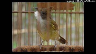Download Suara Kicau Burung Cucak Jenggot Kutowinangun