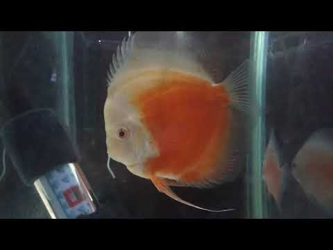Discus With  HOLE IN THE HEAD  Issue - Update