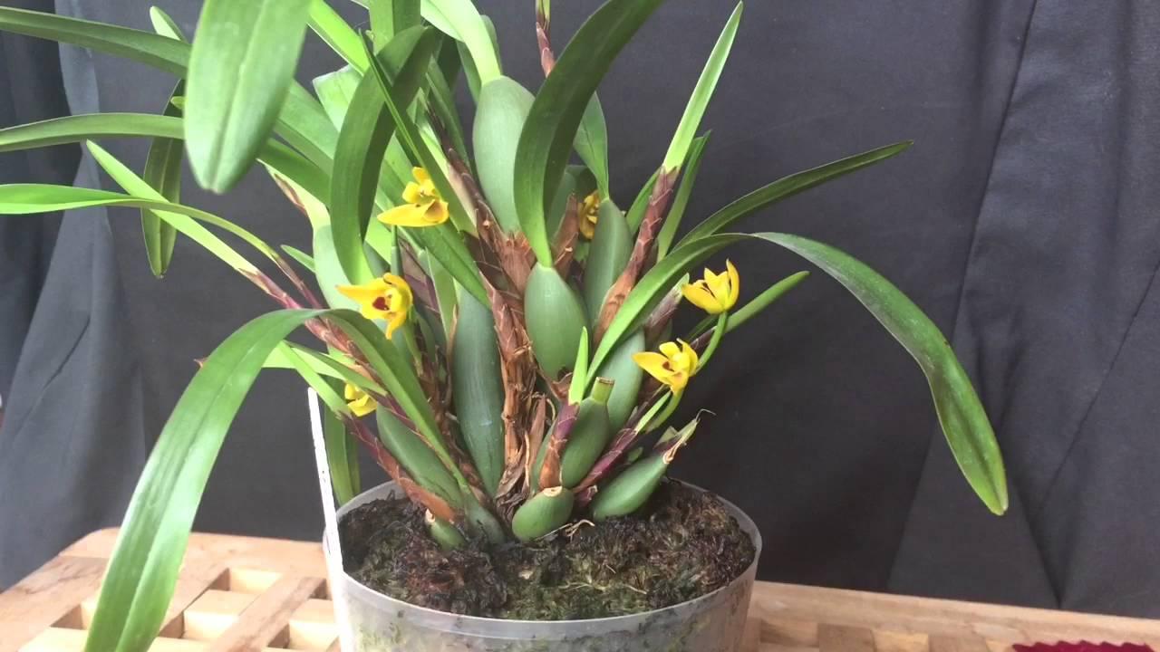 Orchid Spotlight Maxillaria Variabilis Youtube