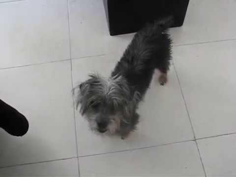 Meri - In Spain 2017 - Australian Silky Terrier
