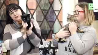 Бомбейская кошка – одна из самых редких пород кошек в России