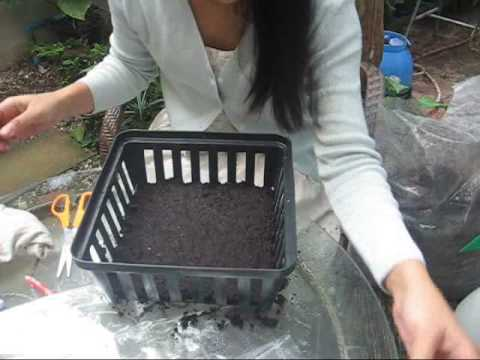 How to sow Platycerium fern spores.