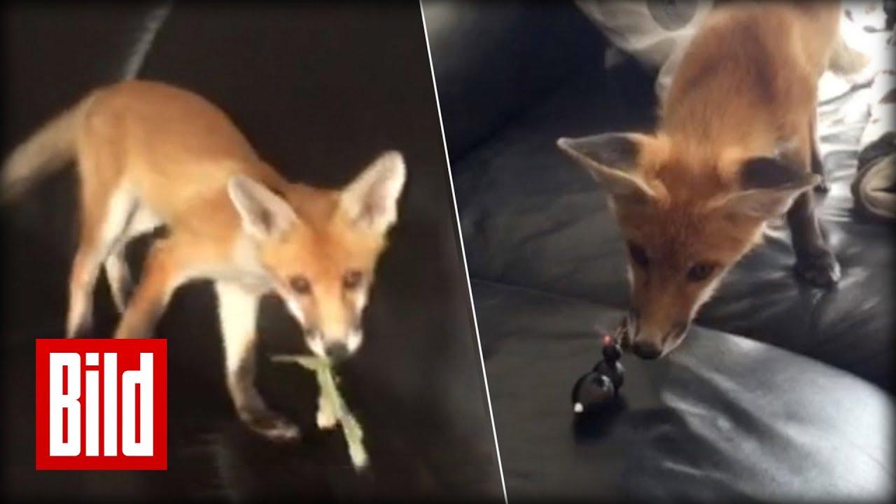 Fuchs Im Wohnzimmer Familie Nimmt Findel Tier Auf Youtube