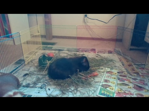 When Guinea Pigs Fly Live Stream