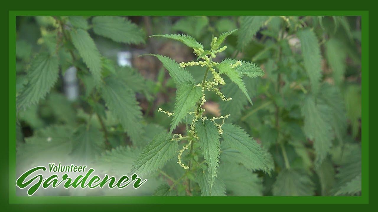 Unusual plants for your home garden | Volunteer Gardener