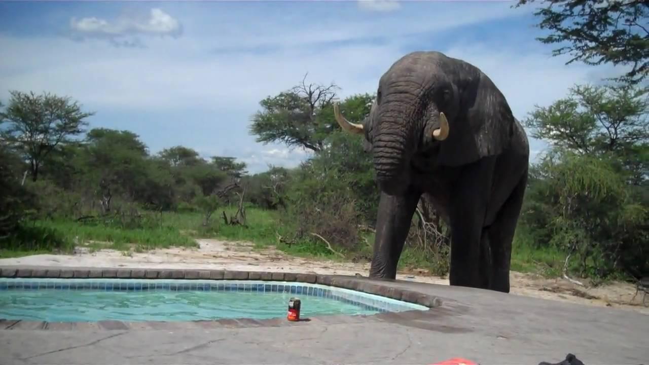 Elephant crashes the pool party - YouTube